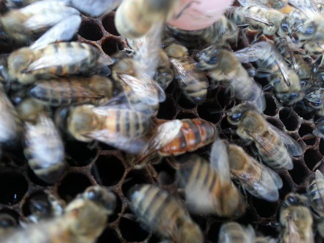 yığılca-arısı-2