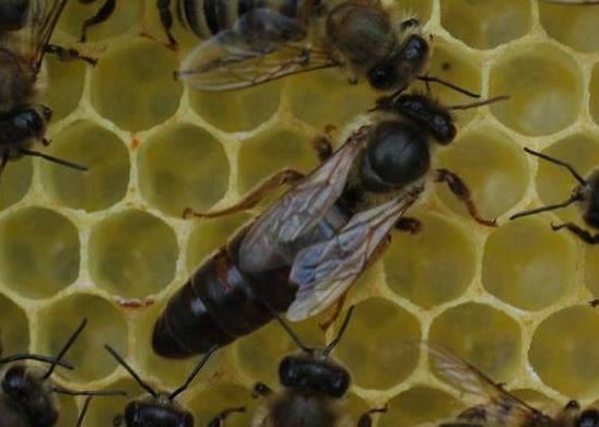 karpat arısı