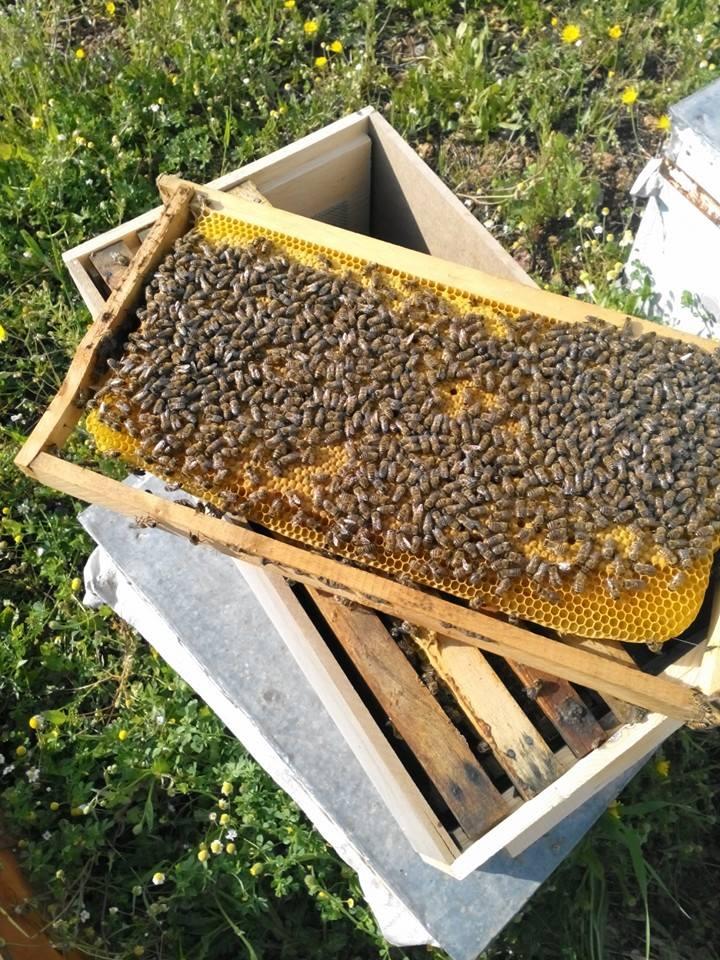 satılık arı 2
