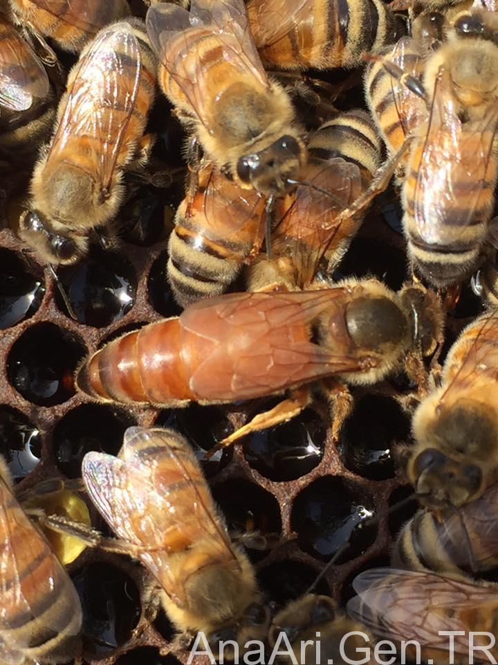 ana arı üretimi 3