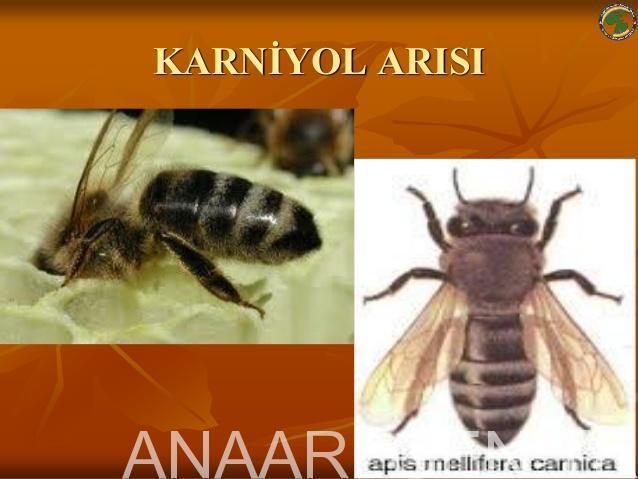 Arı Irkları