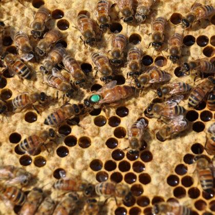 ana arı 2