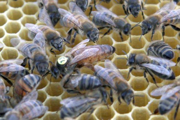 ana arı 4