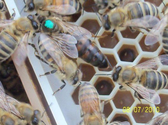 ana arı 7