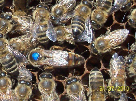 ana arı 8