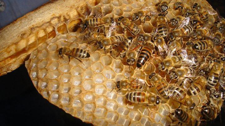 ana arı 9