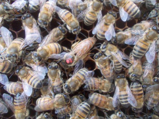 belfas ana arı