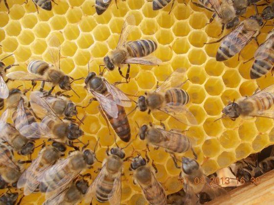belfast ana arı ırkı