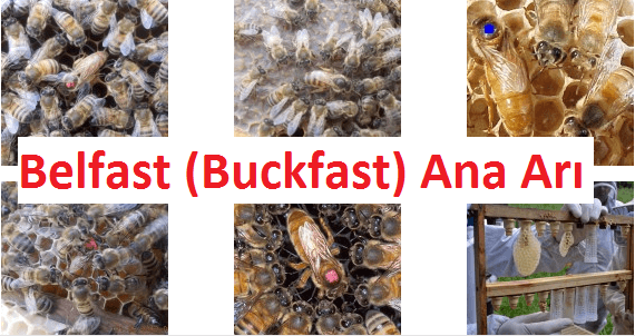 belfast ana arısı