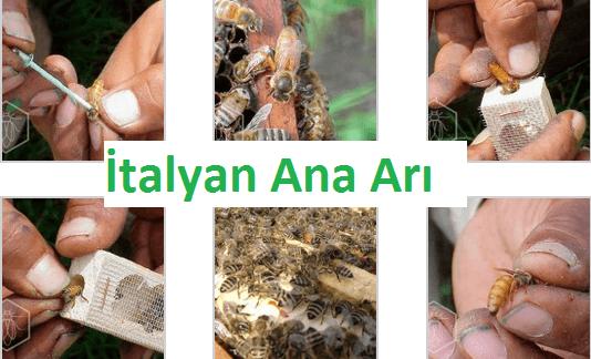 italyan ana arısı