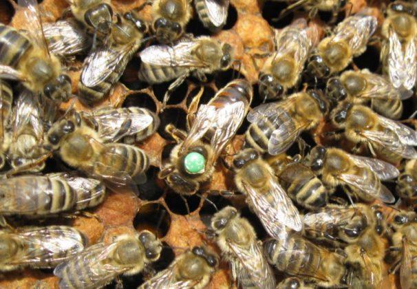 karniyol ana arı 1