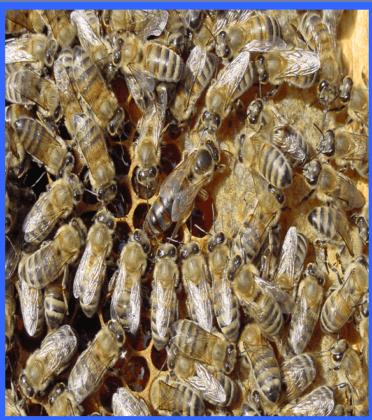 karniyol ana arı 2