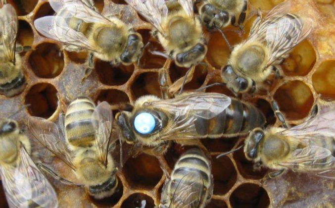 karniyol ana arı 5