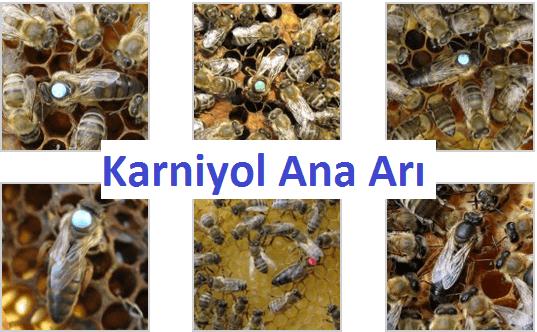 karniyol ana arısı