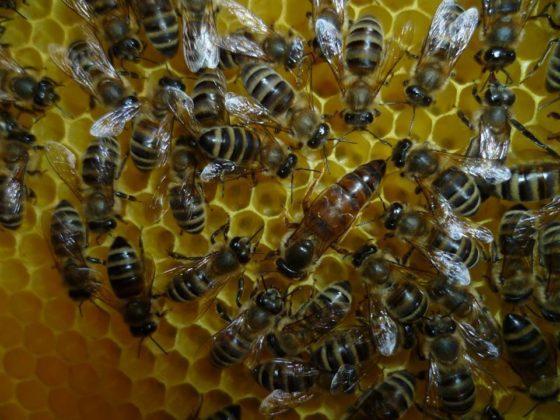 ana arı satışı 1