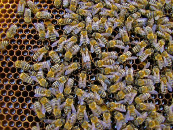 ana arı satışı 2