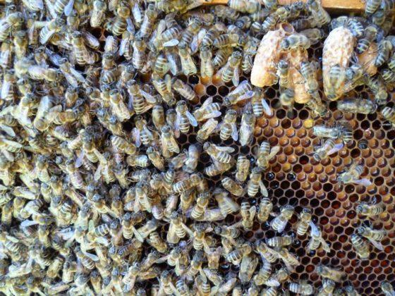 ana arı satışı 4