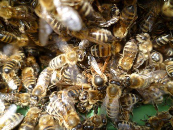 ana arı satışı 6