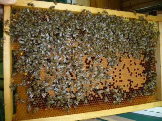 ana arı satışı5