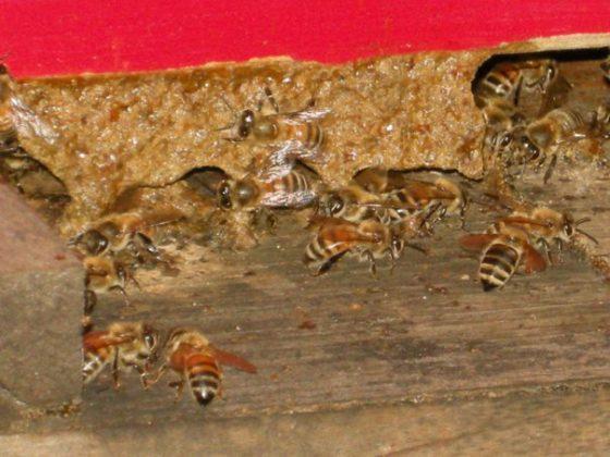 kafkas ana arısının özellikleri 1
