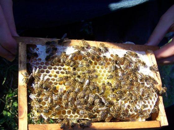 kafkas ana arısının özellikleri 2