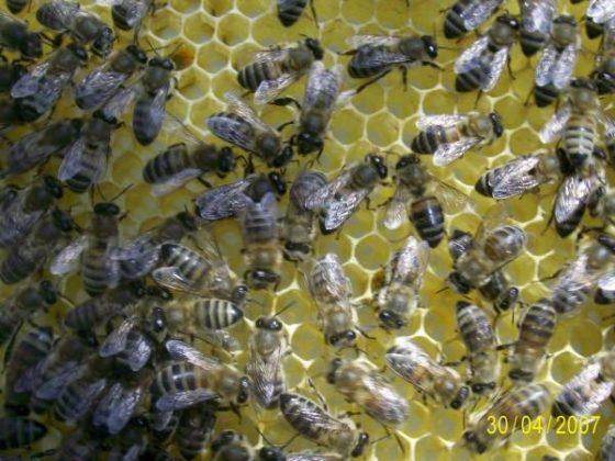 kafkas ana arısının özellikleri 3