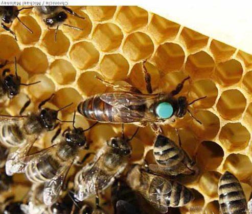 kafkas ana arısının özellikleri 4