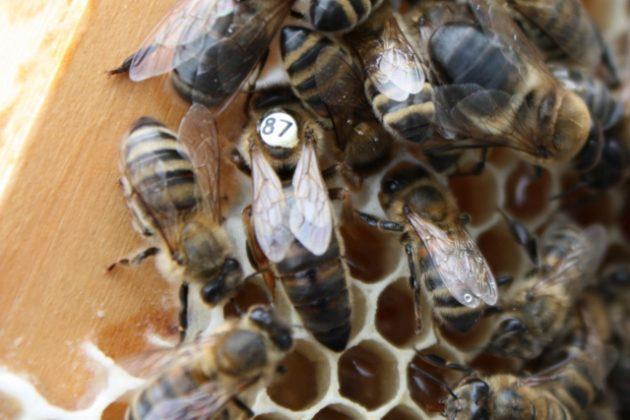 karniyol ana arısının özellikleri 1