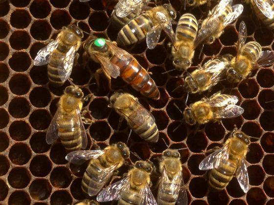 karniyol ana arısının özellikleri 3