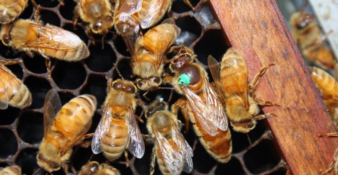 italyan ana arısının özellikleri 1