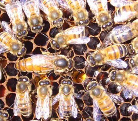 italyan ana arısının özellikleri 2