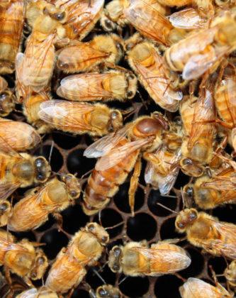 italyan ana arısının özellikleri 3