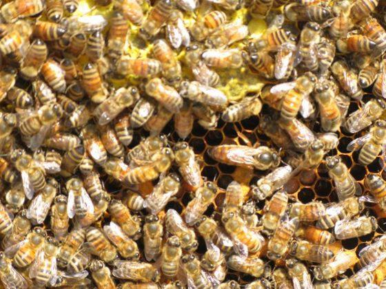 italyan ana arısının özellikleri 4