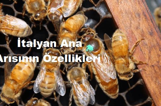 İtalyan Ana Arısının Özellikleri