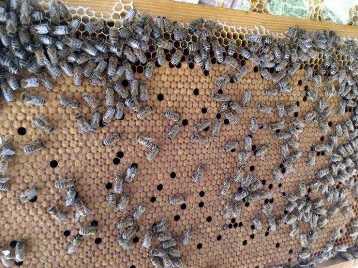 Ana Arı Kalitesini Etkileyen Faktörler