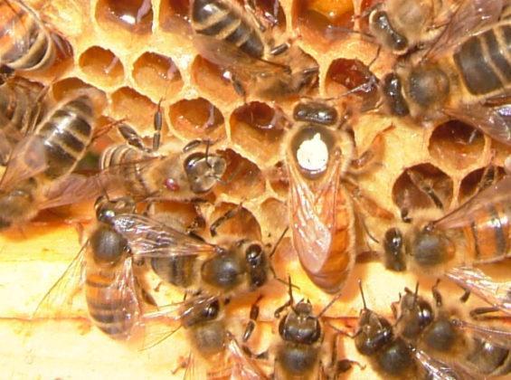 belfast ana arı 4
