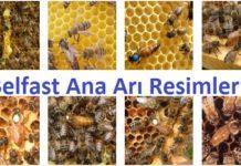 belfast ana arı resimleri