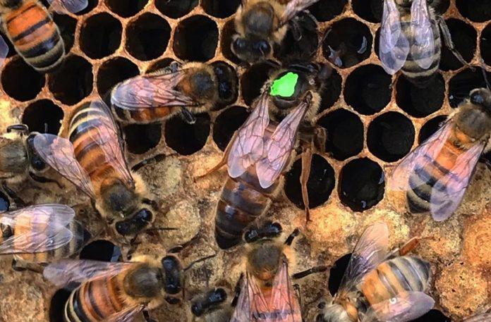 damızlık ana arı