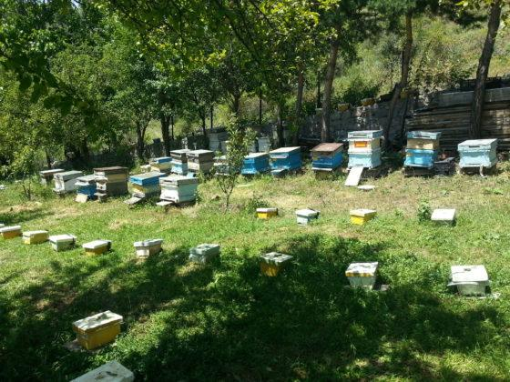 damızlık kafkas ana arı 10