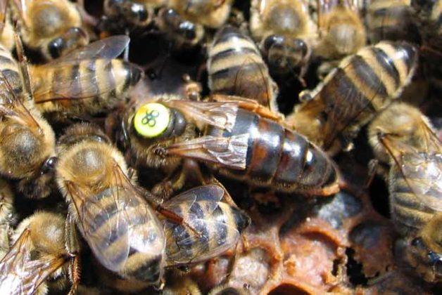 karniyol ana arı 10