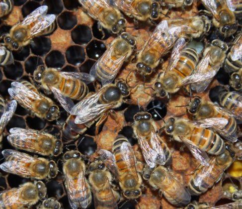 karniyol ana arı 31