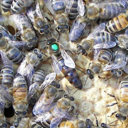karniyol ana arı 4