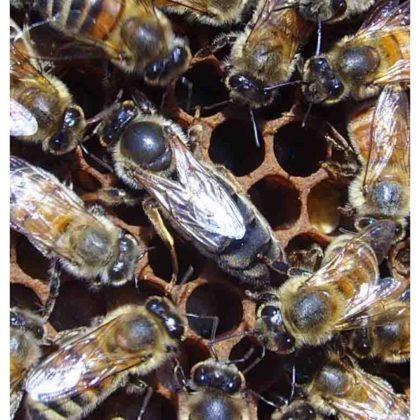 karniyol ana arı 7