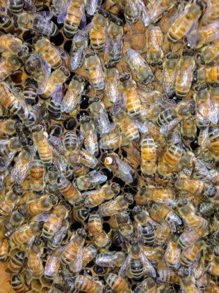 karniyol ana arı 9