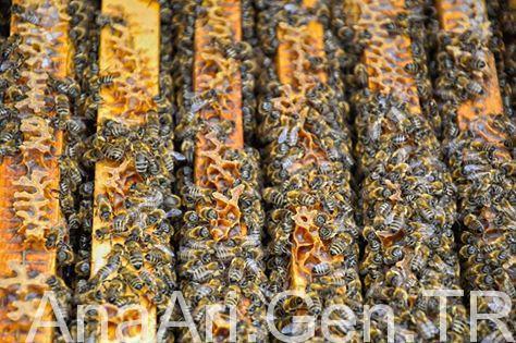 Arıların Muayene İşlemleri