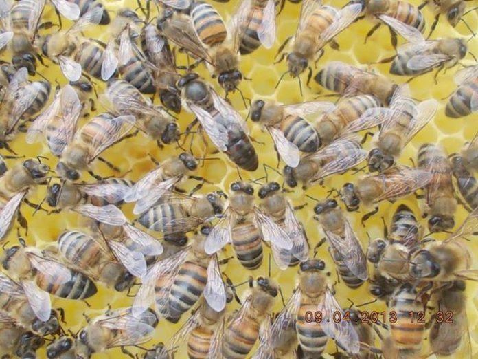 ana arı bitirici kolonisi oluşturma