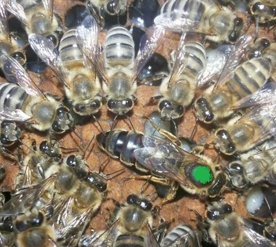 Ana Arının Kovana Verilmesi