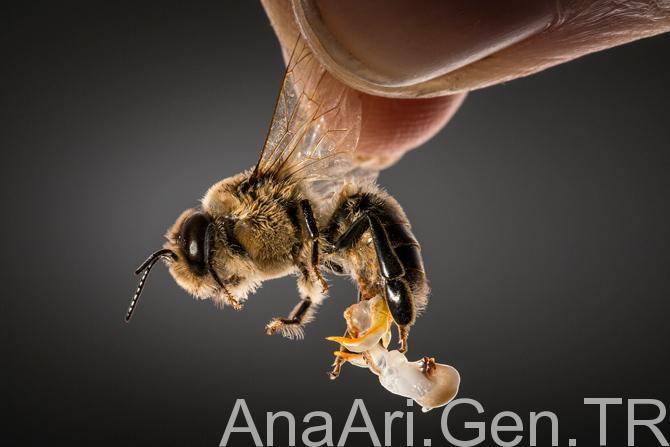 erkek arı kolonisi