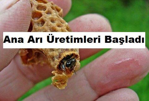 Ana Arı Üretimleri Başladı