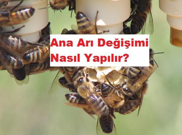 ana arı değişimi nasıl yapılır